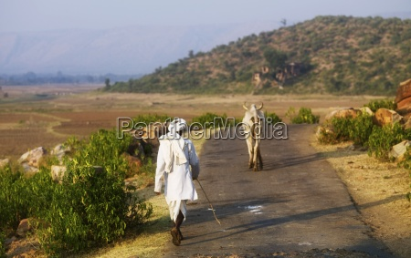 man walking behind horned brahman cows