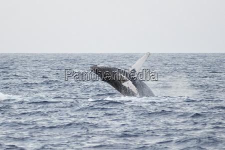 porpoise surfacing maui hawaii usa