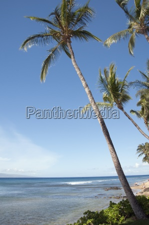 palm tree maui hawaii usa