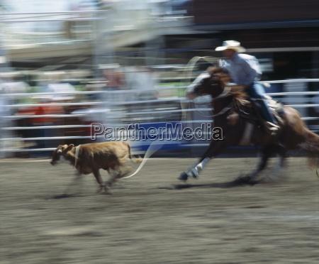 calf roper calgary stampede calgary alberta
