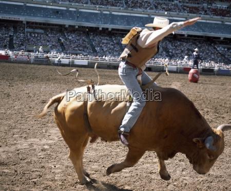 bull rider calgary stampede calgary alberta