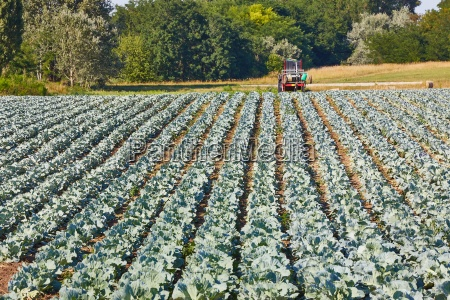 agricultural cabbage field