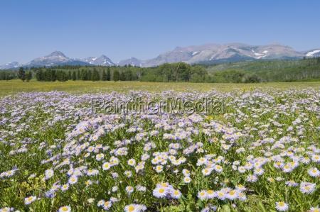 wild daisies east glacier glacier national