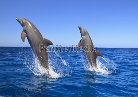 roatan bay islands honduras bottlenose dolphins