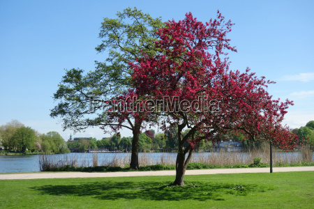 blooming ornamental apple tree at the