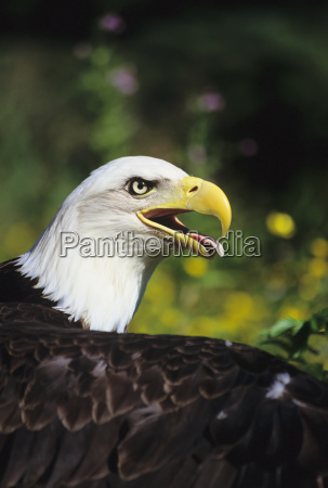 usa close up of bald eagle