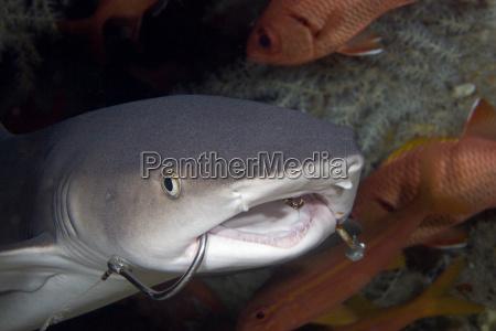usa whitetip reef shark triaenodon obesus