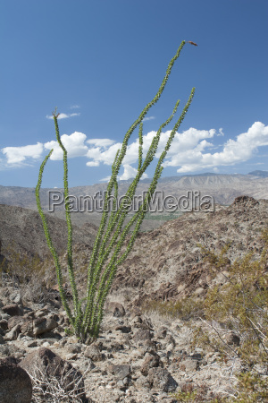 tall cactus plant in desert mountain