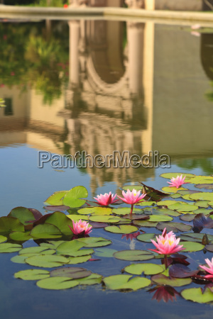 lilies in a pond with the