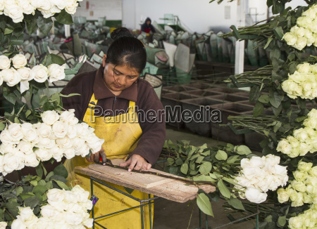 woman removing the thorns from roses