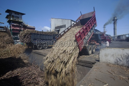 delivery truck dumping raw sugar cane