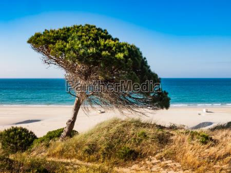steinkiefer am strand von tarifa costa
