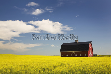 red barn in a flowering canola