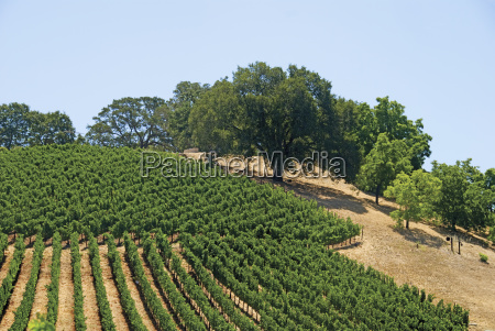 vineyard of the napa valley and