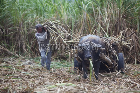 a field worker harvests sugar cane
