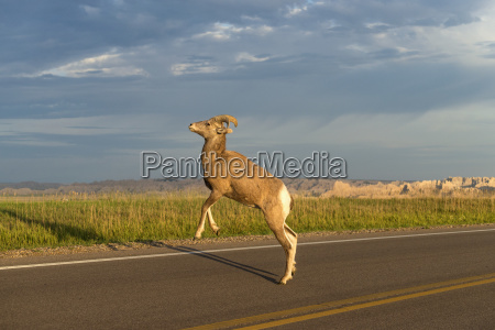 bighorn sheep ovis canadensis crossing the
