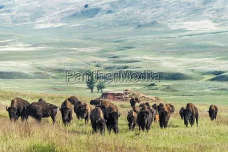 bison wind cave national park south