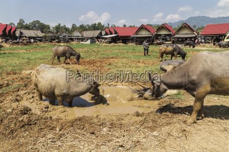 wasserbueffel auf dem bolu livestock market