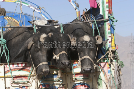 cattle on a truck on the