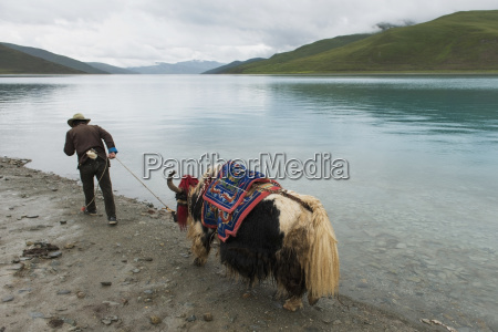 man leading yak along waters edge