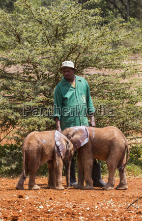 worker and orphaned african elephants loxodonta