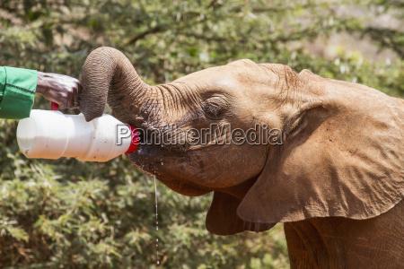 worker bottle feeding an orphaned african