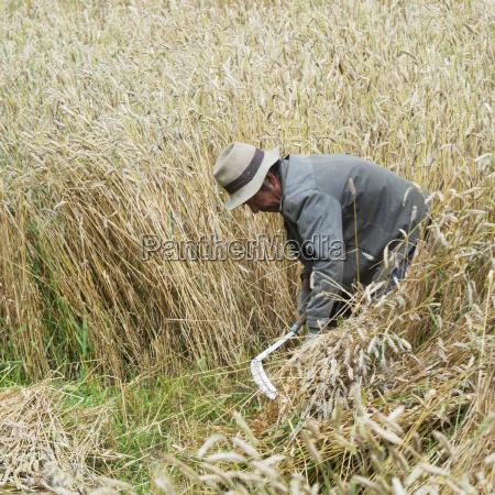 man harvesting wheat lhasa tibet xizang