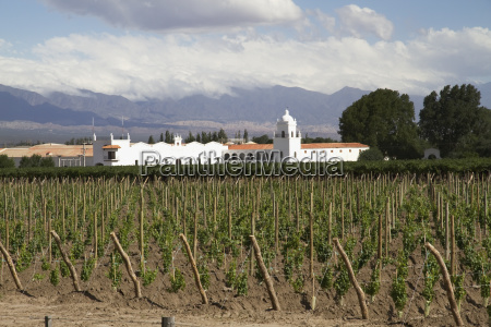 vineyard of bodega el esteco winery