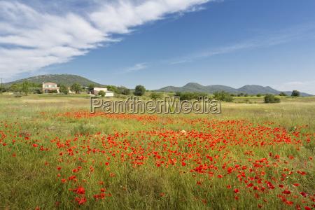 flowering poppy field in the south
