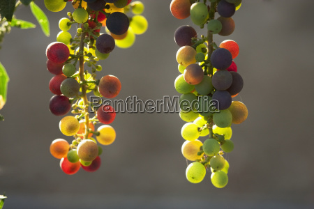 wine grapes in the vina mar