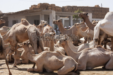 camels for sale at the camel