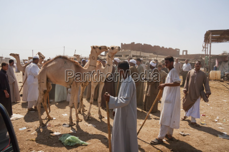 vendors and camels for sale at