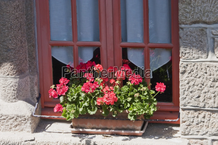 geraniums in a flower box by