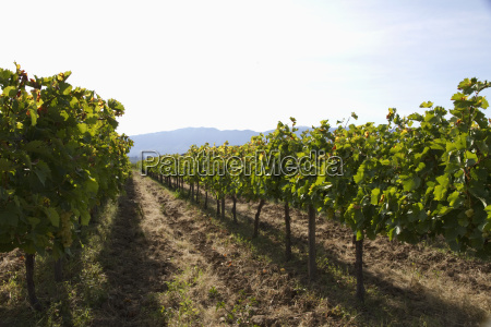 cabernet sauvignon vines in a vineyard