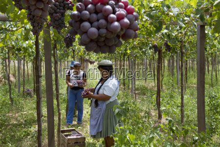 chapacas harvesting grapes in a vineyard