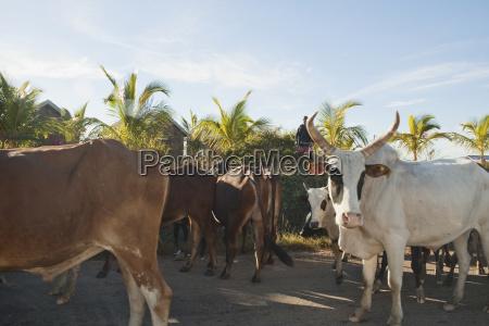 zebu herd near ranohira fianarantsoa province