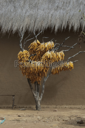 corn husks hanging to dry along
