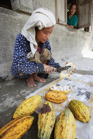 wachsender kakao ist eine der wichtigsten
