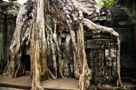 ta prohm temple large banyan tree