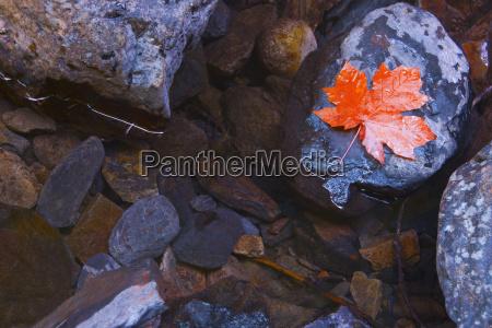 maple leaf on a rock british