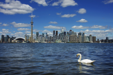 toronto skyline with swan swimming in