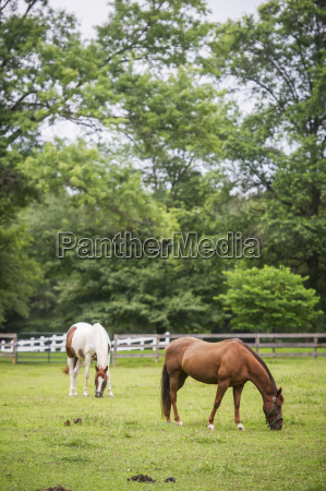 horses grazing in a pasture wheaton