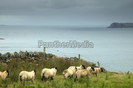 sheep on inishturk island wild atlantic