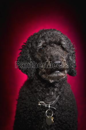 black labradoodle on red background st