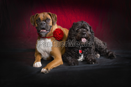 boxer and spaniel dogs on red