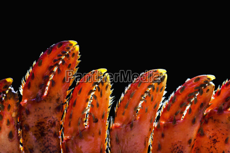 close up of lobster claws against
