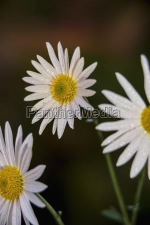 korean chrysanthemums asteraceae new york botanical