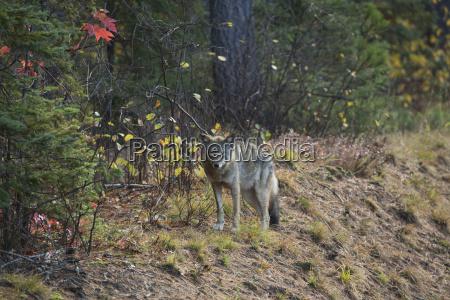 ein wolf canis lupus steht neben