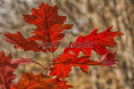 red oak leaves in autumn strathroy