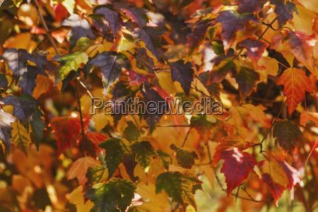 japanese maple leaves in autumn edmonton